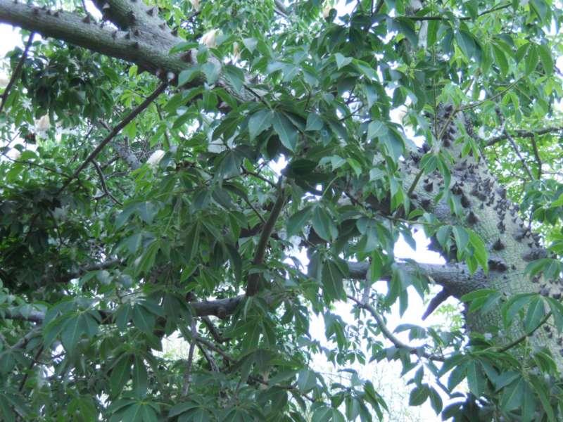 Ceiba speciosa 2