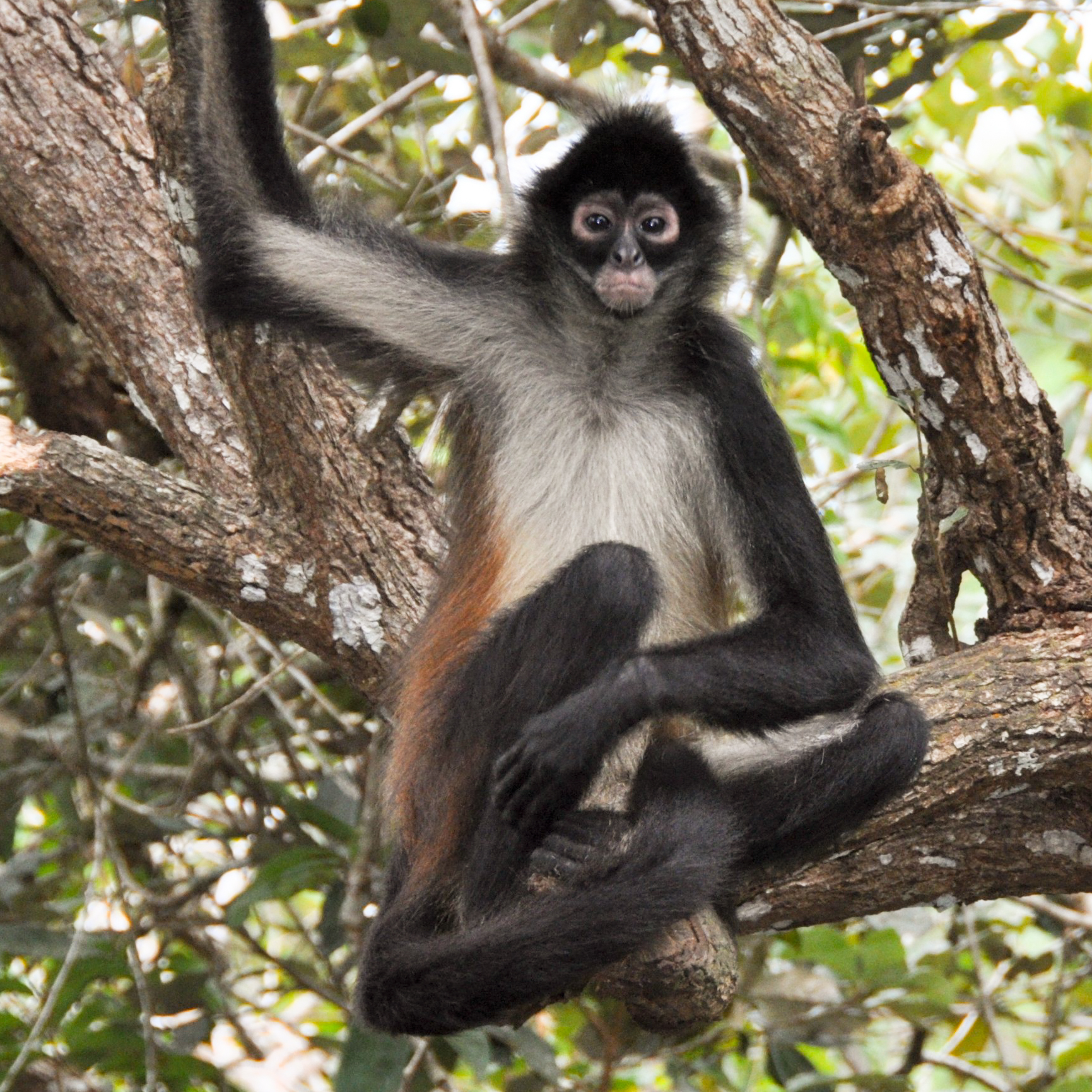 Geoffrey Spider Monkey by xxliljok3rxx09
