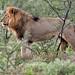 Etosha male lion.