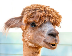 alpaca(0.0), arabian camel(0.0), animal(1.0), mammal(1.0), head(1.0), close-up(1.0), camel(1.0),