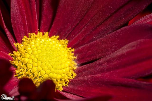 Red daisy.