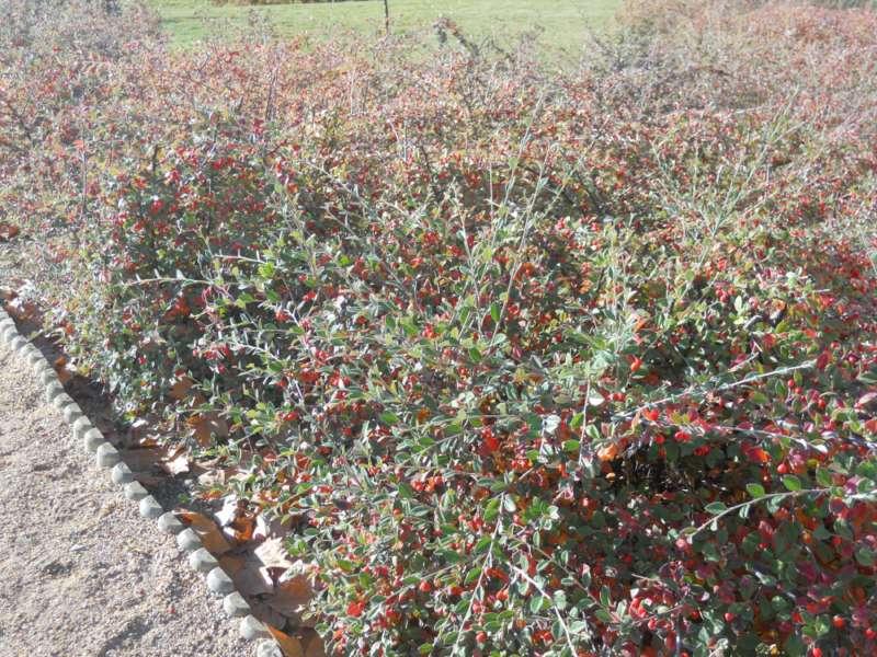 Cotoneaster wardii seto otoño 2
