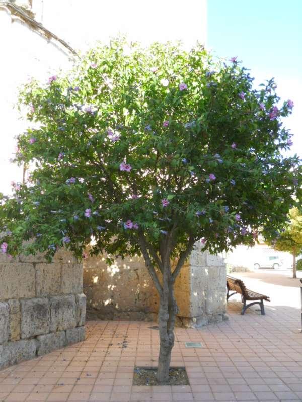 Hibiscus syriacus 'Oiseau Bleu' v 2