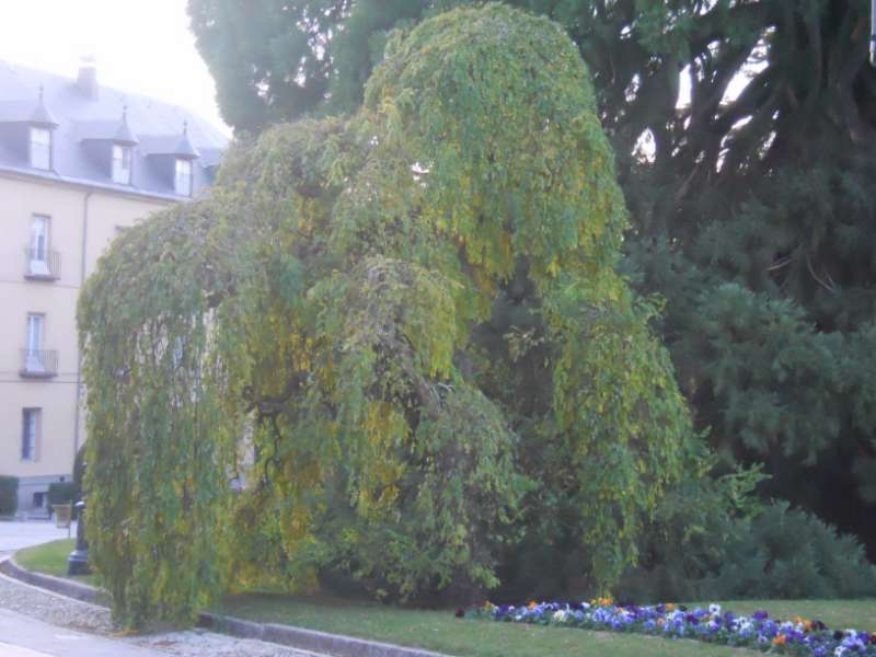 Robinia pseudoacacia 'Tortuosa' 3