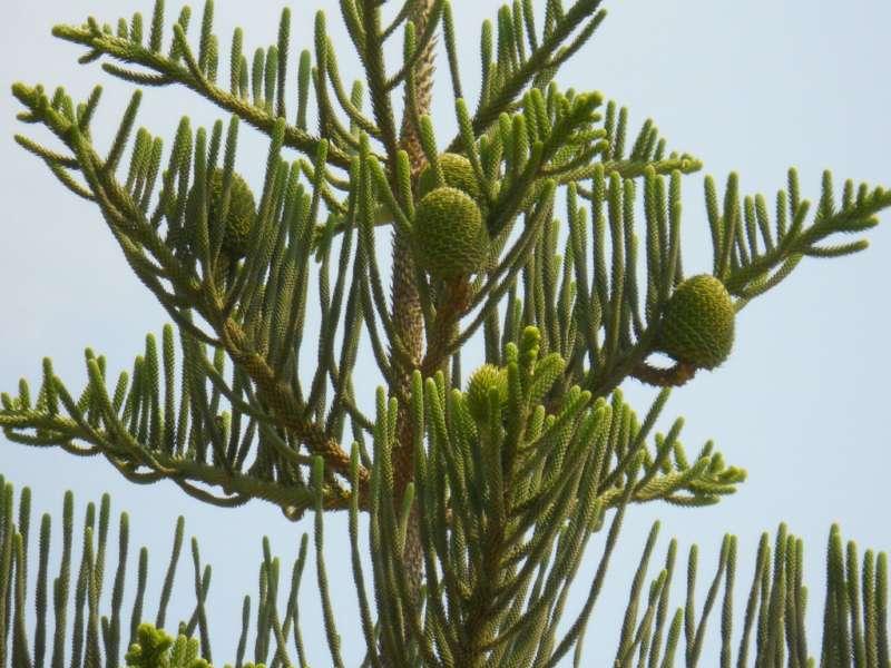 Araucaria heterophylla 3