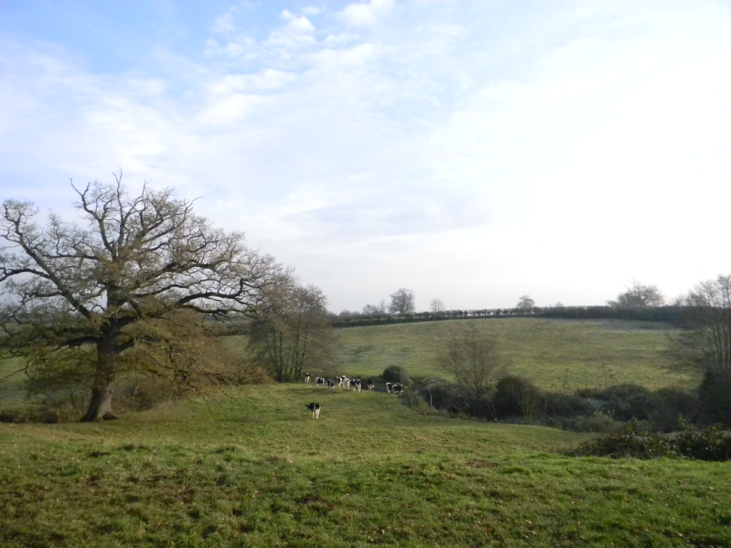 """Cows You have to go straight on past the """"easily missed right turn"""" to capture this view. The cold was making my eyes water - missed the paragraph, never mind the turn. Ockley to Warnham"""