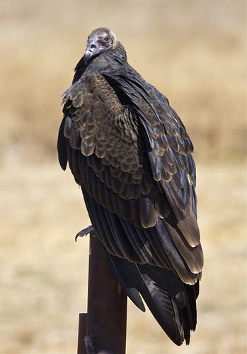 Turkey Vulture imm.