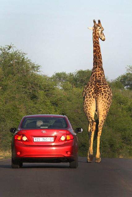 Africa Safari 001