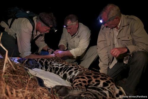 Dr. Howard Quigley & Dr. Alan Rabinowitz examine a jaguar as Bob Simon looks on
