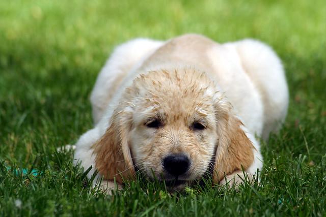 Sweet Golden Retriever Puppy in the Grass