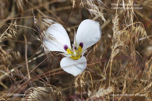 Bruneau Mariposa Lily, Pinyon Mariposa - Calochortus bruneaunis
