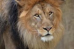 adventure(0.0), roar(0.0), savanna(0.0), nose(1.0), animal(1.0), mane(1.0), big cats(1.0), masai lion(1.0), lion(1.0), mammal(1.0), fauna(1.0), close-up(1.0), whiskers(1.0), safari(1.0), wildlife(1.0),