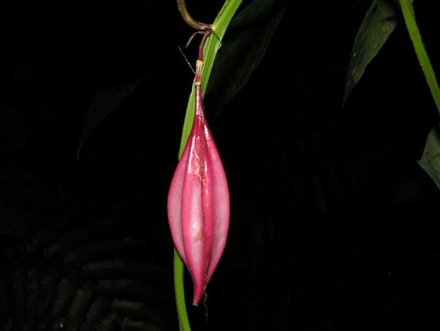 Passiflora costaricensis Killip