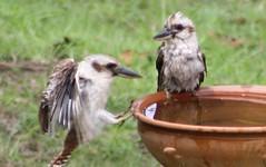 Kookaburras having a bath