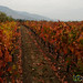 Fall Colors at Antiyal Winery - Maipo Alto, Chile