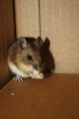 Rescued Mouse