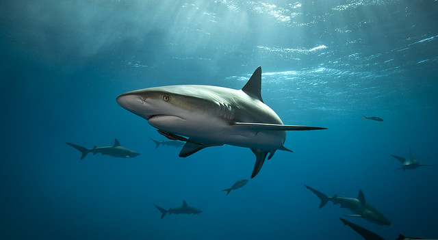 Caribbean Reef Shark at Tiger Beach in the Bahamas