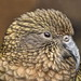 Small photo of Kea