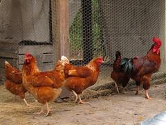 Chickens (Gallus gallus domesticus)