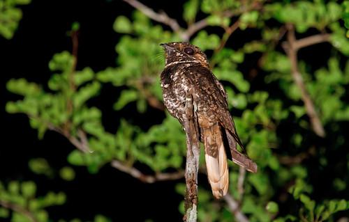 Nightjar - Nattskärra