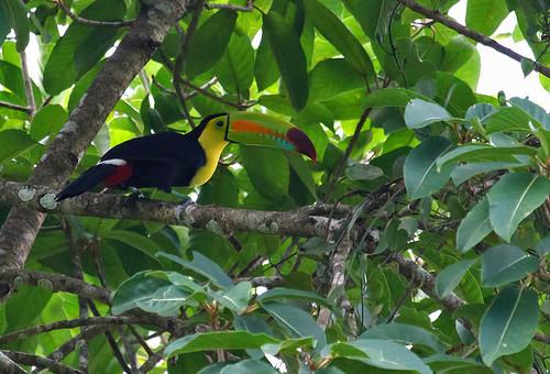 Keel-billed Toucan (Ramphastos sulfuratus) - Svaveltukan