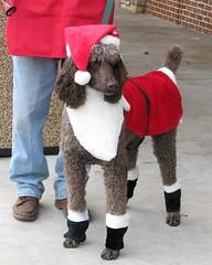 reindeer poodle