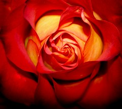 wallpaper-flower-picture-rose-aroma-Tylfe-pic