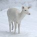 Albino Whitetail Deer (Odocoileus virginianus)  In Her  Winter Wonderland