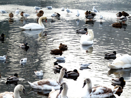 Swans, ducks and ice