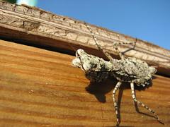 Exotic Praying Mantis