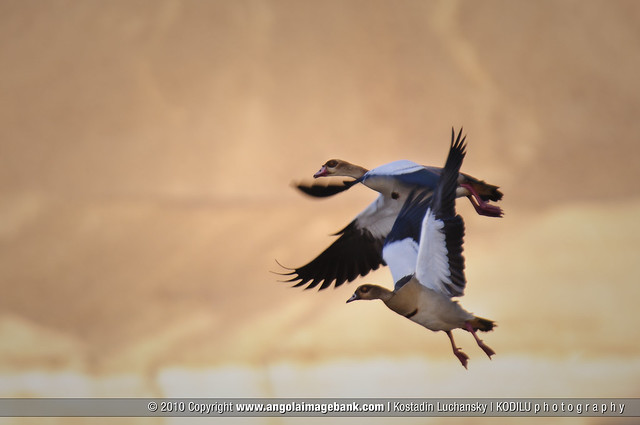 Geese at Arco's Oasis in the Namibe Desert
