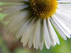 flower, yellow, plant, chamaemelum nobile, daisy, macro photography, wildflower, flora, oxeye daisy, close-up, daisy, petal,