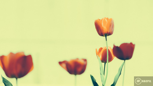 Tulips-0620