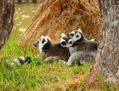 animal, mammal, fauna, lemur, meerkat, wildlife,