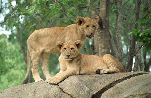 Lion cubs, Zimbabwe