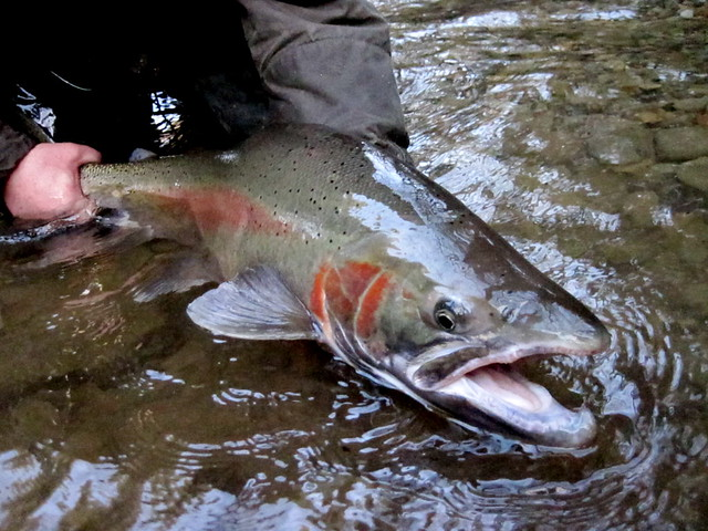 Olympic Penninsula Winter Steelhead
