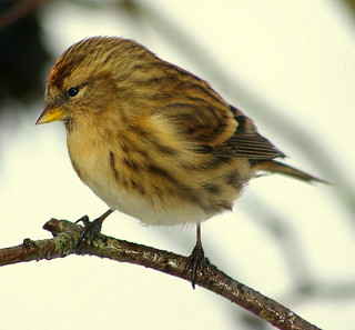 Pentax K100D.Flash.55-300mm Lens.Tiny Redpoll In The Hazel Screen.December 10th 2010.