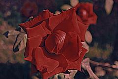 soft red saudi rose