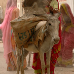 Filling Up the Donkey Sacks - Udaipur, India