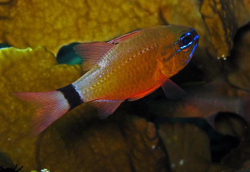 Ring-tailed cardinalfish - Apogon aureus