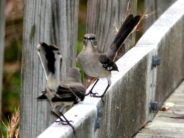 Mockingbird standoff 2-20101230