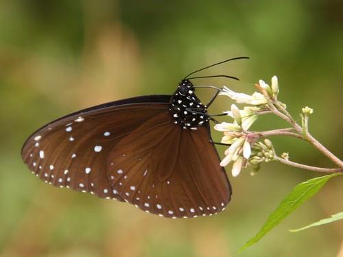 端紫斑蝶。李鍾旻攝