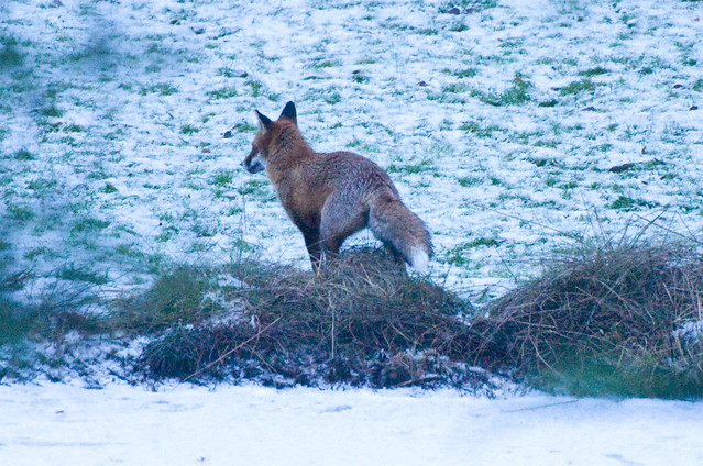 Fox (Vulpes vulpes) Scent Marking by a Frozen Lake