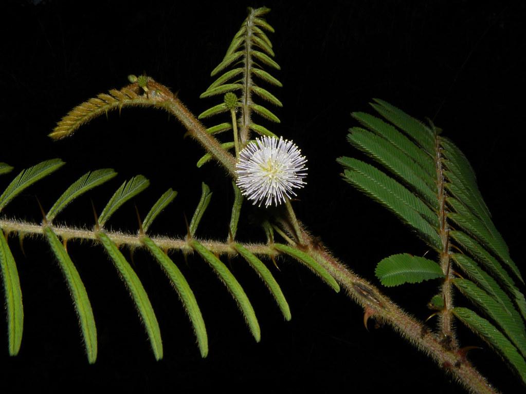 Mimosa pigra L