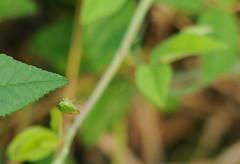 2010 Green Stink Bug (Acrosternum hilare)
