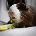 alice the guinea pig by mosey_kim