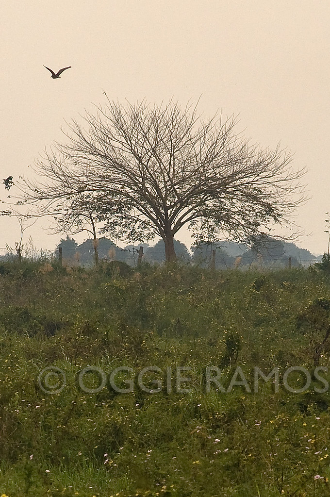 Candaba - Leafless Tree and Hovering Bird