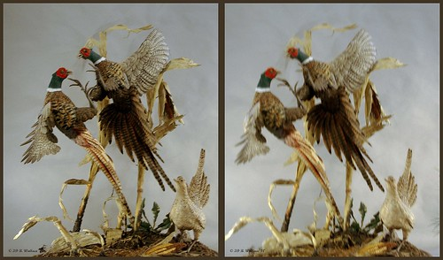 brian wallace brianwallace art gallery sculpture carving fine detail nature indoors inside easton md maryland sidebyside crosssview crosseye xview xeye freeview stereopair ewf stereogram 3d stereo stereoscopy stereoscopic stereographic stereoimage stereopicture depth pheasant bird