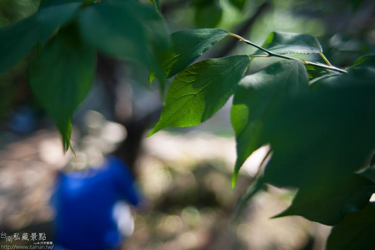台南私藏景點--南化採梅 (22)