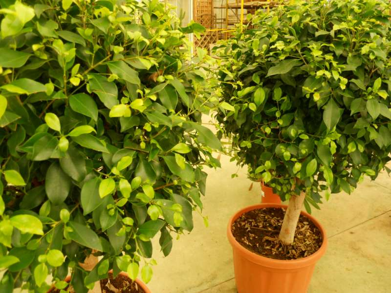 cuando podar un ficus en maceta casa dise o. Black Bedroom Furniture Sets. Home Design Ideas